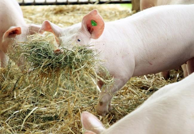 Schwein mit artgemäßen Beschäftigungsmaterial