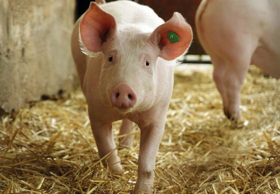 Schweine bei Hütthaler KG