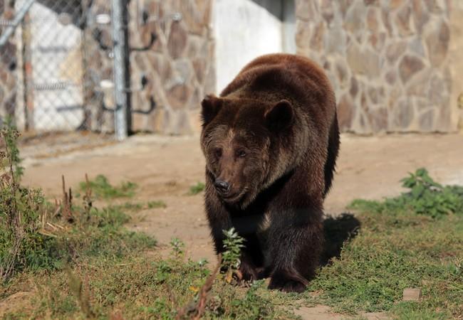 Bear Kvitka