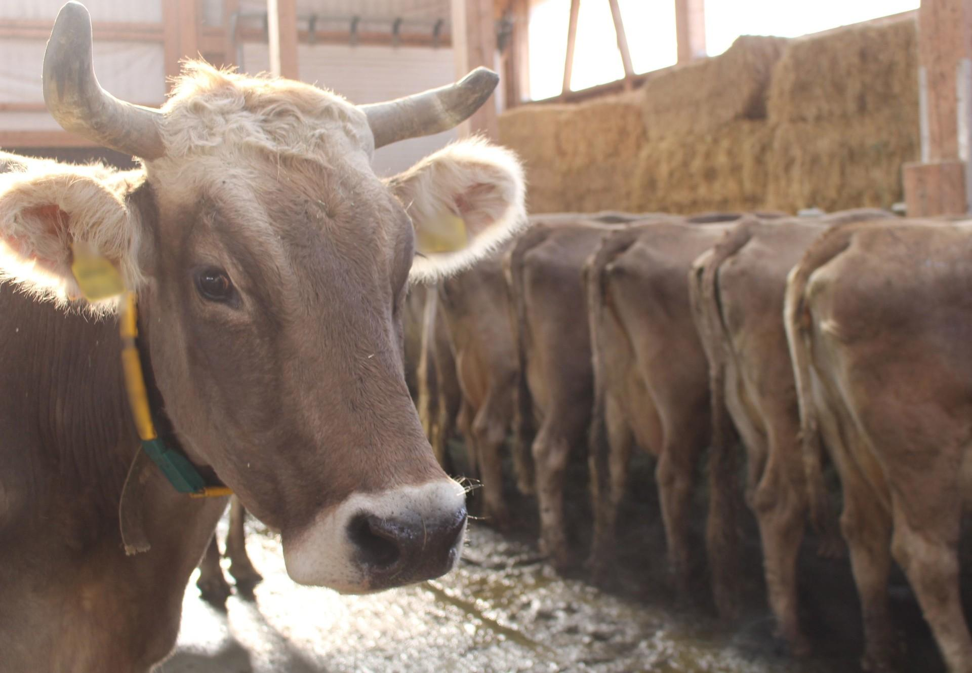 Milchkühe auf einem kontrollierten Betrieb