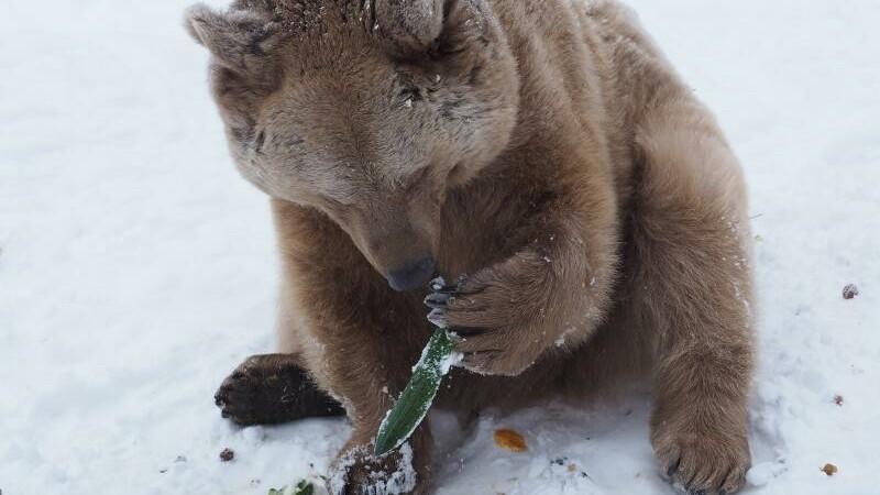 Bär Vinzenz beim Schnabulieren (c) VIER PFOTEN