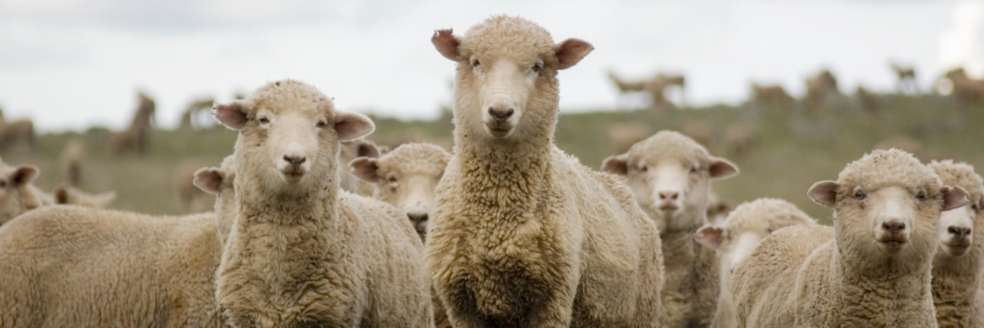Schafe auf einer Farm in Australien