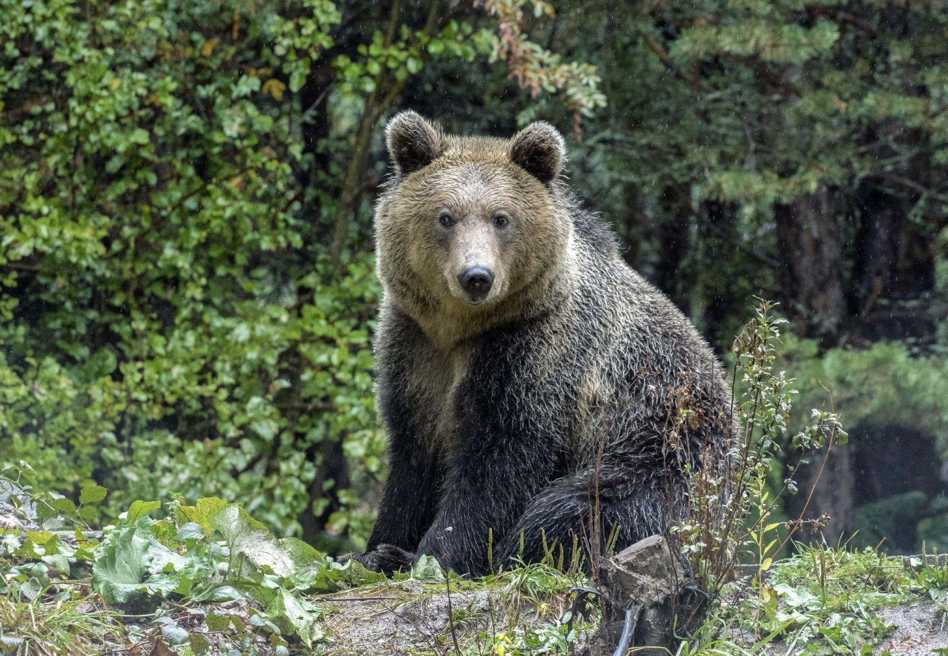 Bear Riku to DANCING BEARS PARK Belitsa