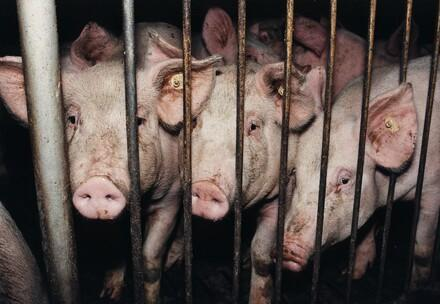 Pigs caged on pig farm