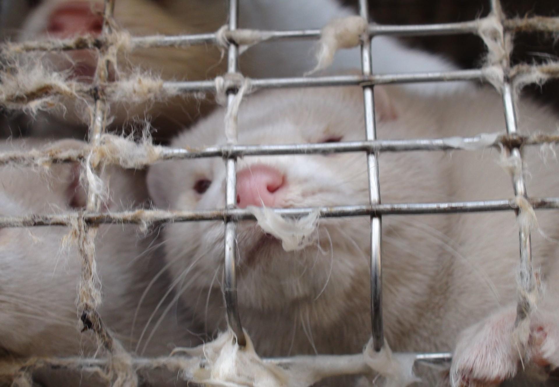 Les visons sont maintenus dans des cages grillagées dans un espace très réduit