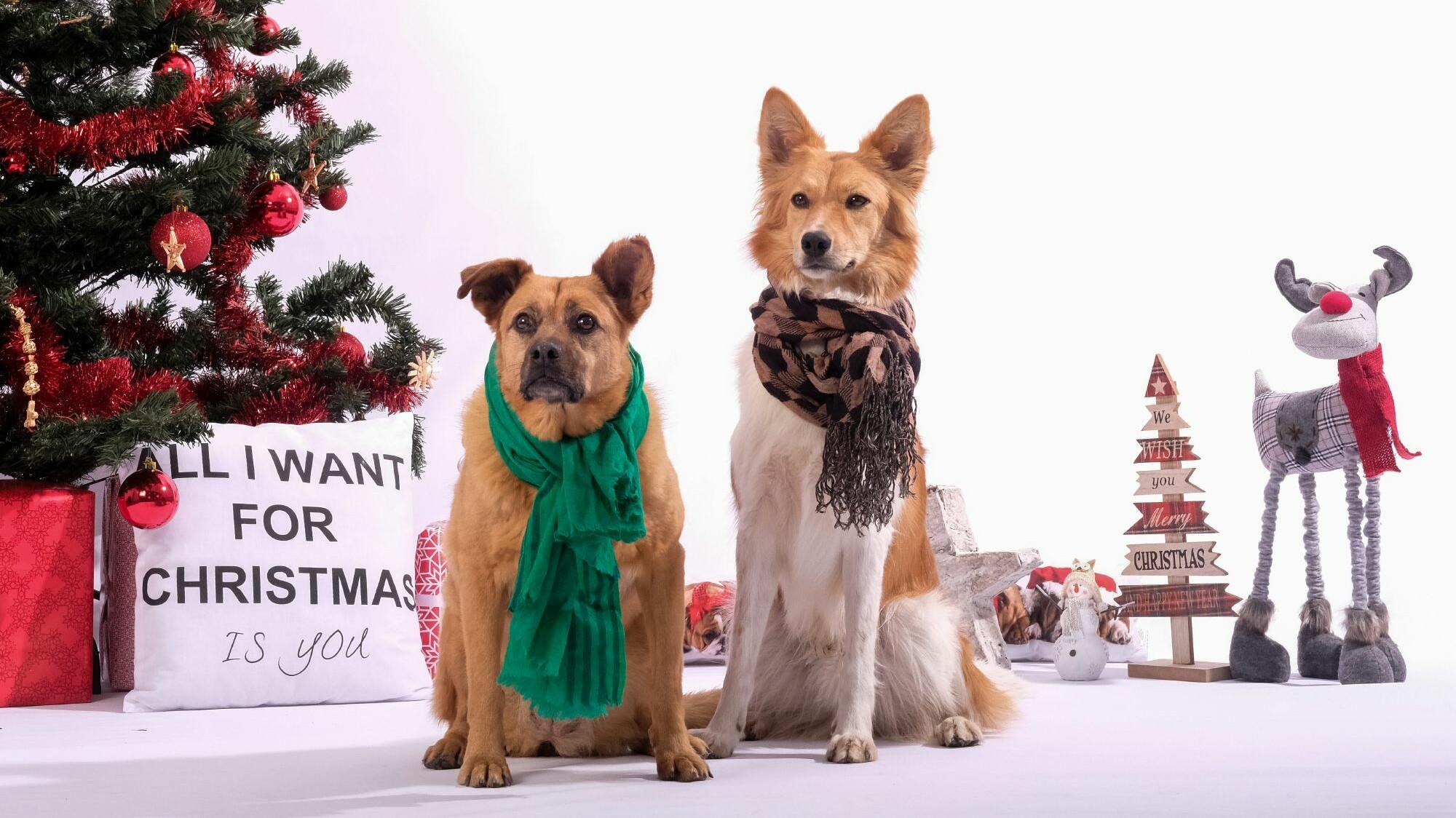 Коледни кучета