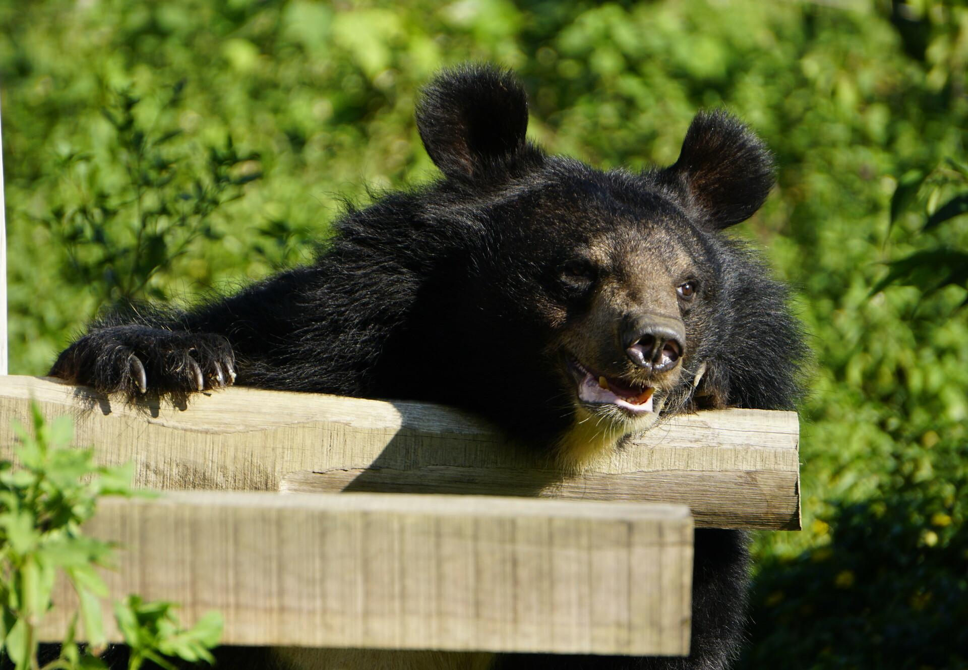 Rescued bear in BEAR SANCTUARY Ninh Binh