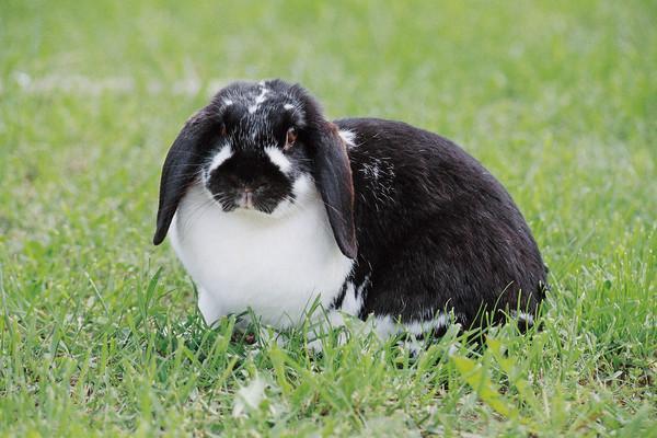 Kaninchen mit Hängeohren
