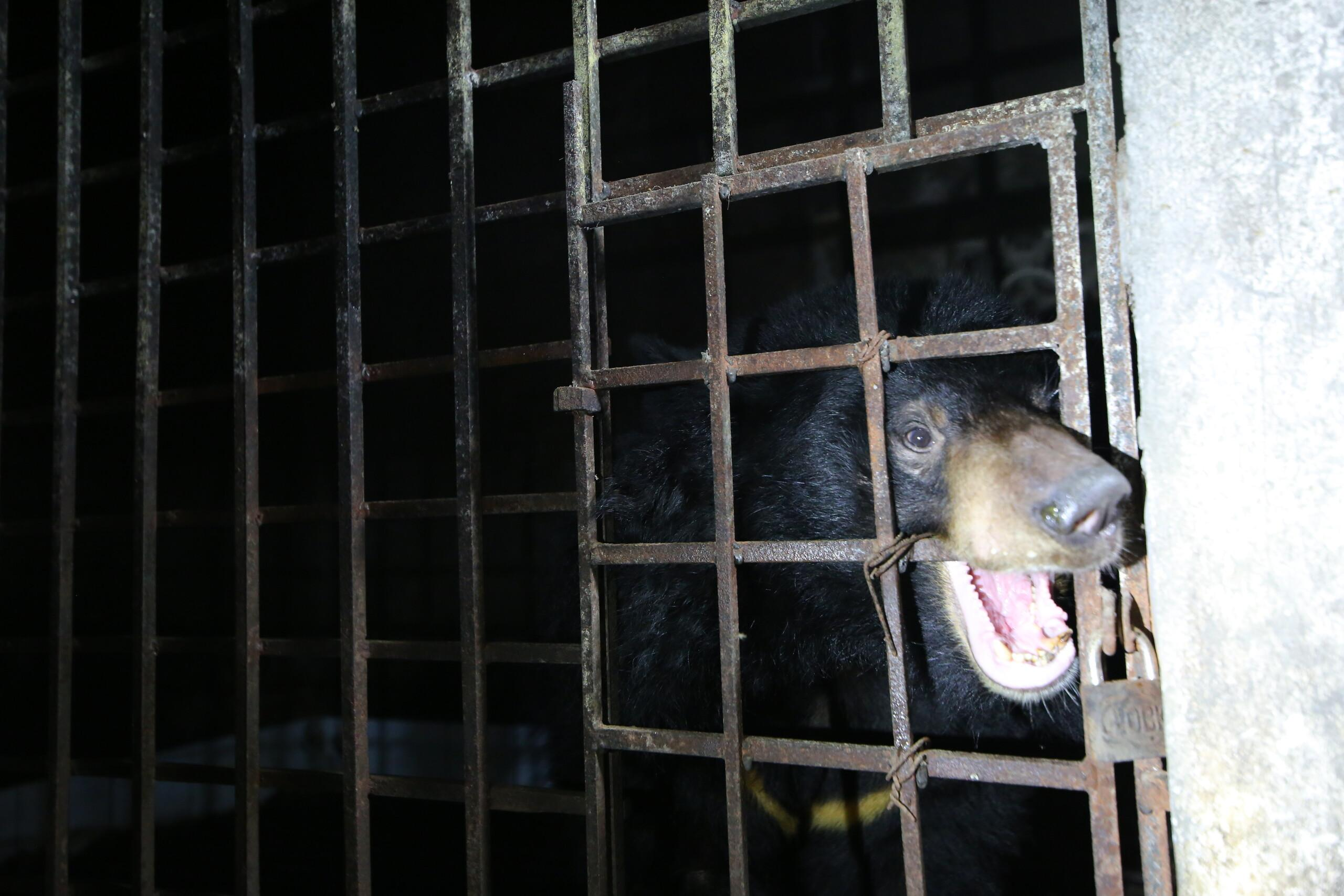 bile bear Mo in a cage