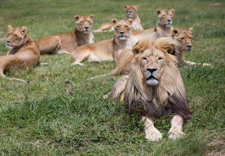 Group of lions at LIONSROCK