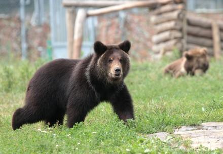 Bear Andor at BEAR SANCTUARY Domazhyr