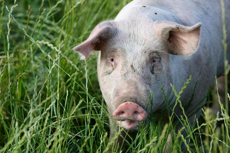 Happy pig in gras