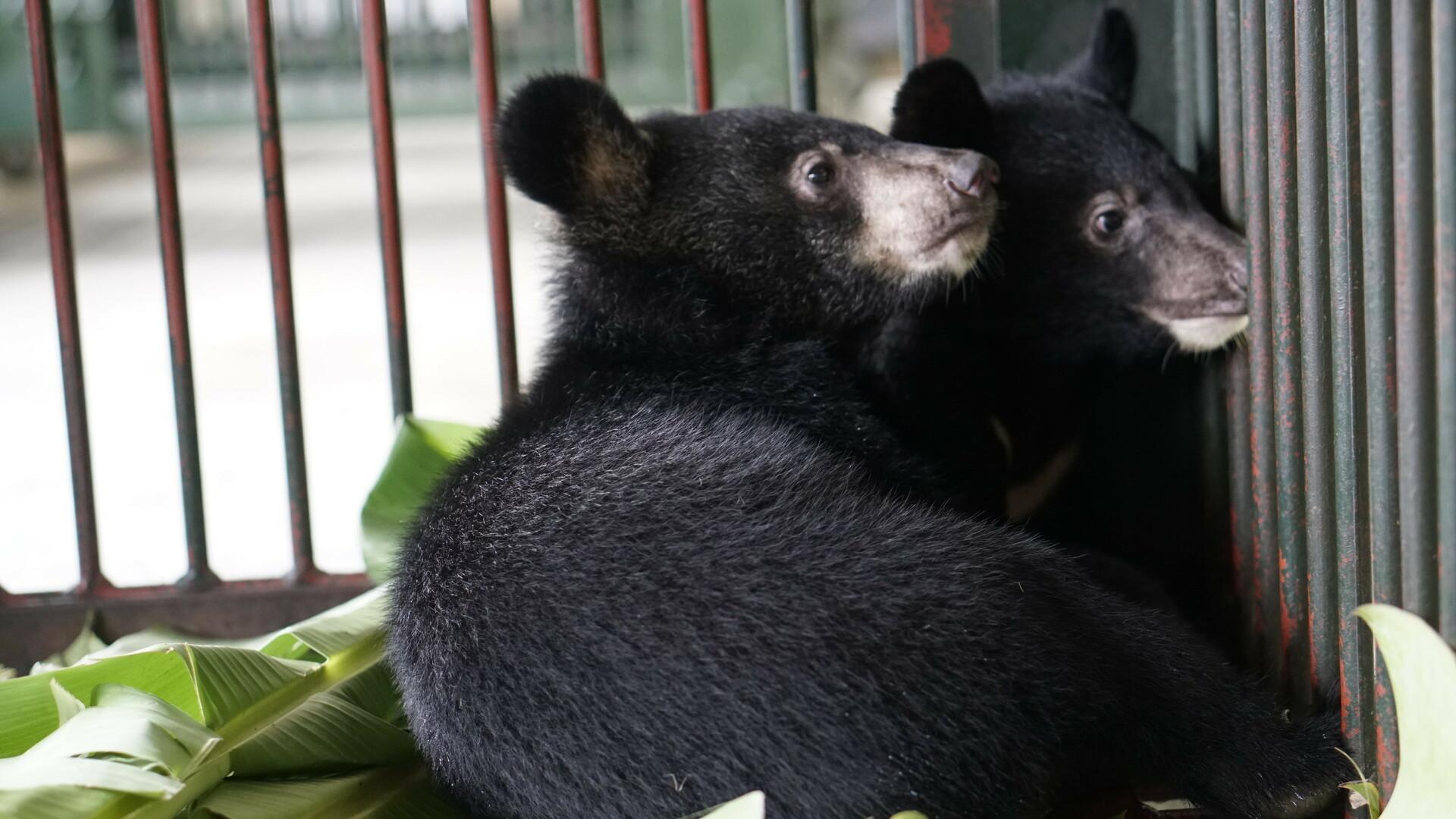 Bile bear caged in a bile bear farm