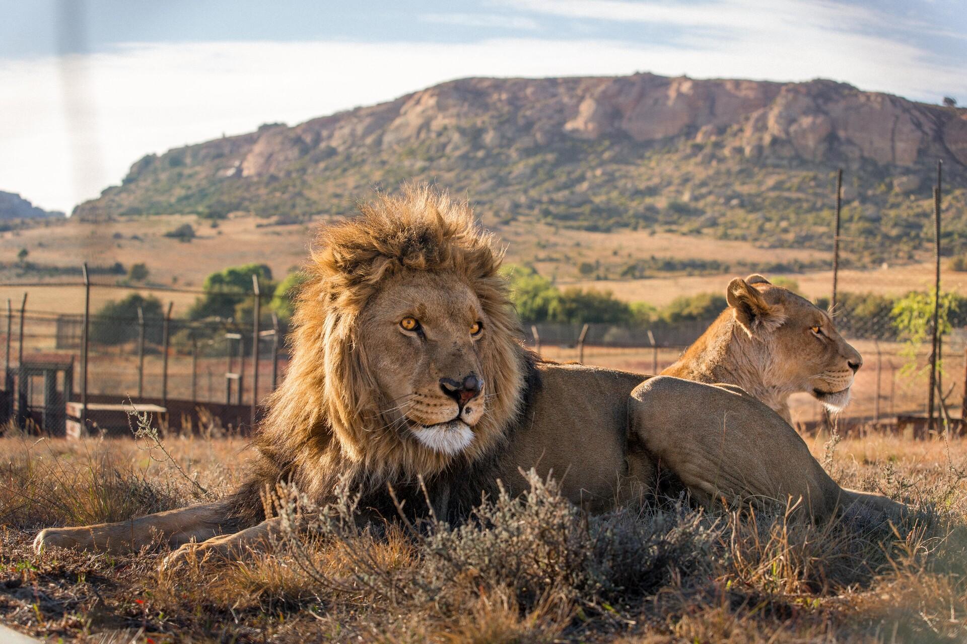 Parrainer un lion