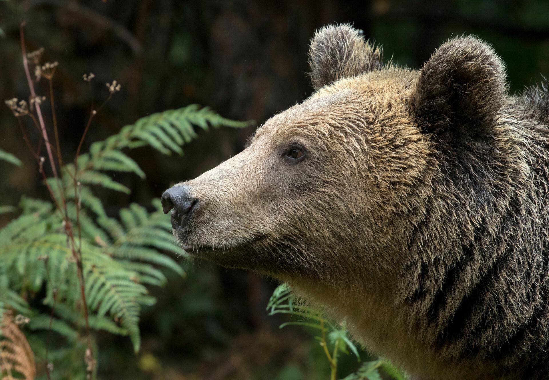 Un pensionnaire du parc des ours dansants de Belitsa