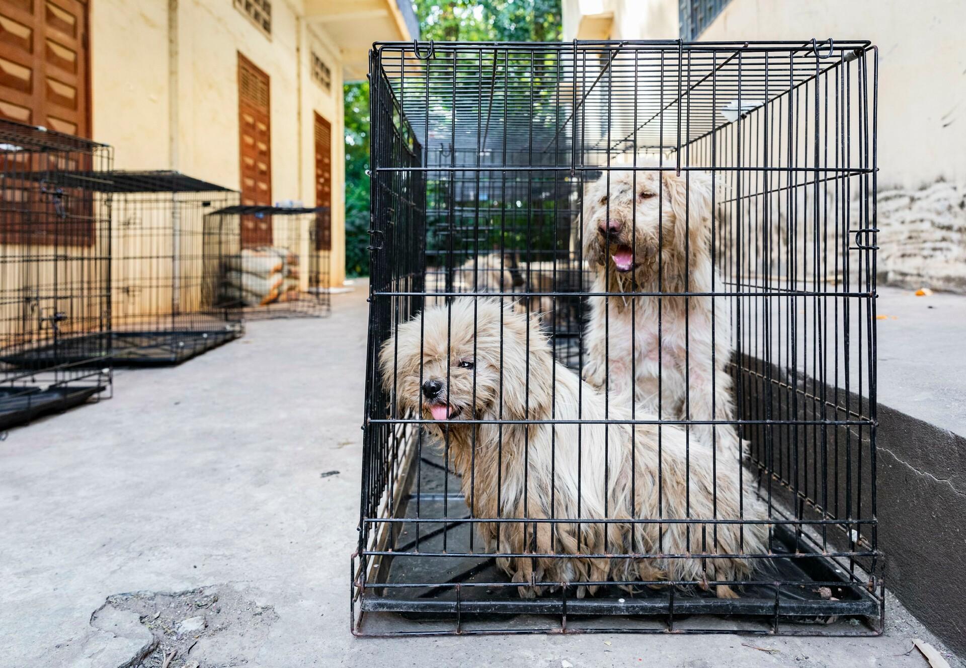 Streunerhunde Sor und Pich in Kambodscha