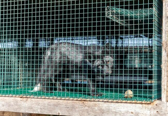 Fuch in einem Käfiug in einer finnischen Pelzfarm