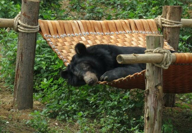 Bär Thai Giang gönnt sich ein Nickerchen
