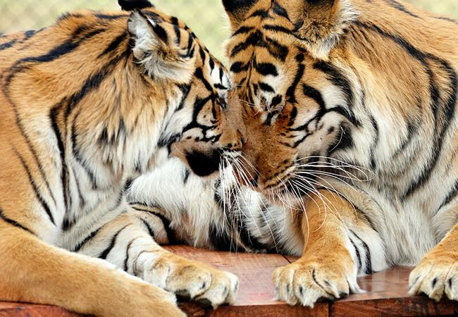 Radja (L) and Khan (R) are two tigers rescued from a German circus