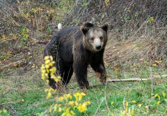 Bear Vesko at DANCING BEARS PARK Belitsa