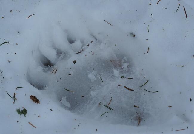 Abdruck einer Bärenpfote im Schnee