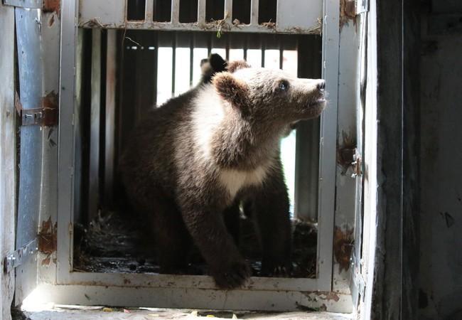 The bear cubs arrive at BEAR SANCTUARY Domazhyr