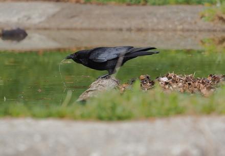 Eine Krähe trinkt Wasser