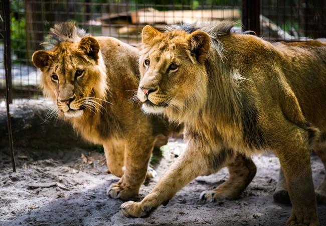 Lions Masoud & Terez in 2019