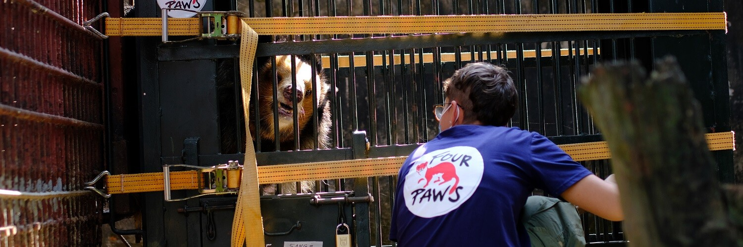 Pitiful Asiatic bear in a cage for bile extraction