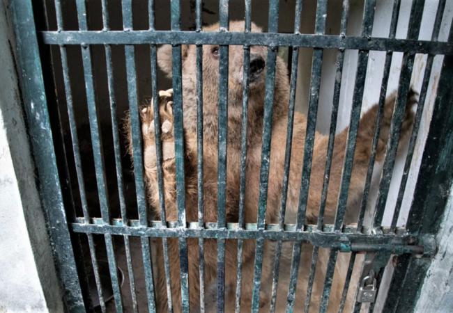 Un ours brun attend d'être secouru