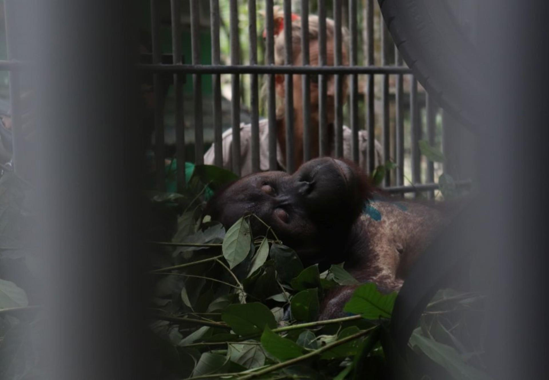 VIER PFOTEN Primatologin Signe Preuschoft hat Orang-Utan Robin nach der Operation gut unter Beobachtung (c) surgery of orang-utan Robin (c) Jejak Pulang   VIER PFOTEN   Agustina DS