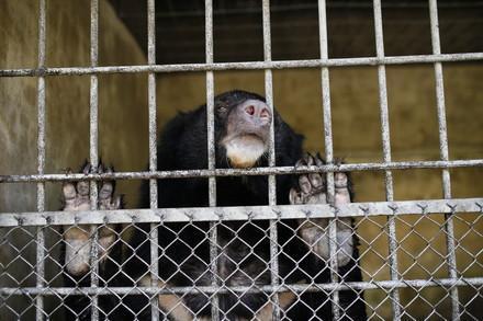 Kragenbär im Käfig in Vietnam