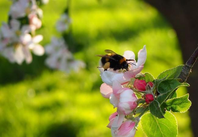 Apfelbaumblüte mit Hummel