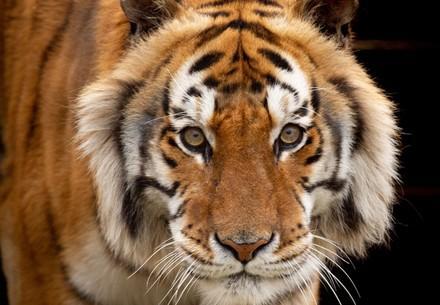 Transfer tiger Caruso