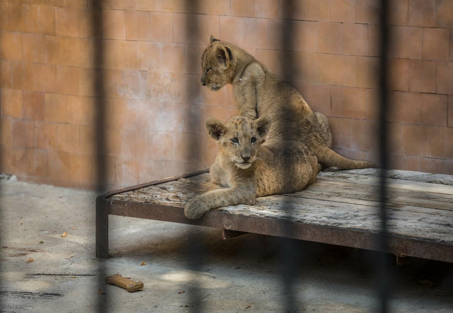 Lion cubs at a zoo in Bulgaria
