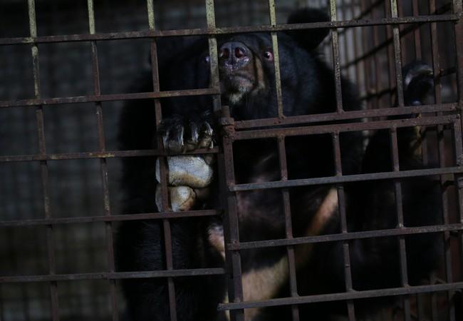 Bär Xuan im Käfig in Vietnam