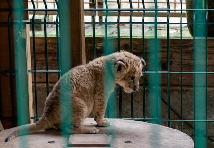 Gefangenes Löwenbaby hinter Gittern
