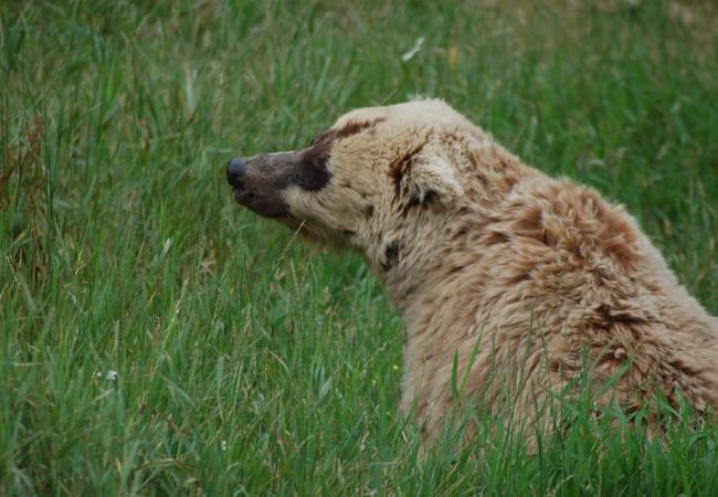 Die Bärin Lady M. sitzt im Gras