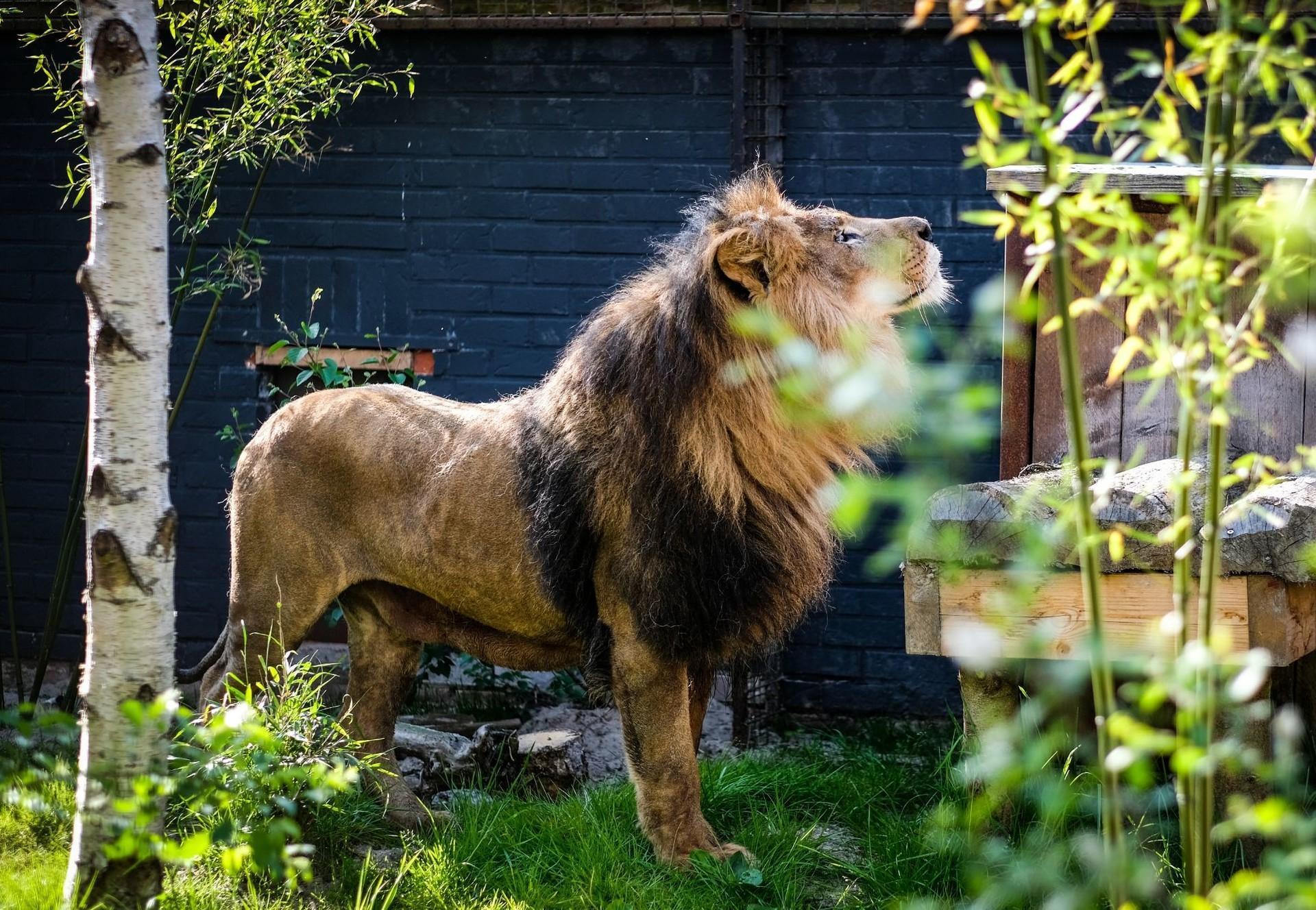 Geretteter Löwe in neuem Zuhause