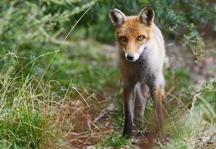 Fox at TIERART