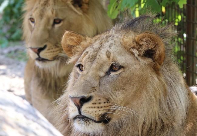 Leeuwen Masoud & Terez in FELIDA