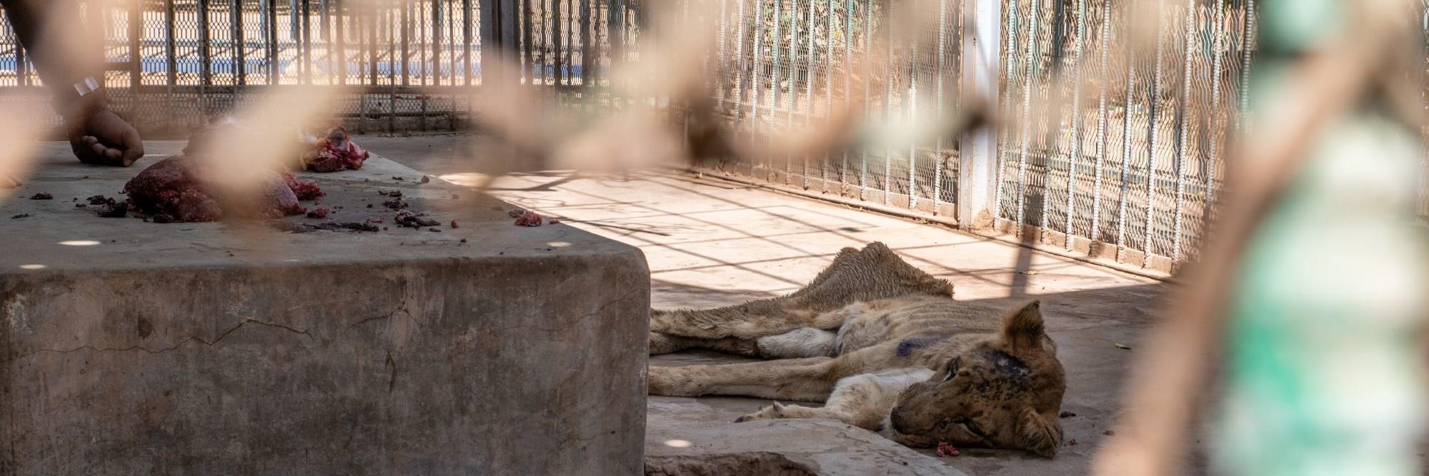 Lijdende leeuw