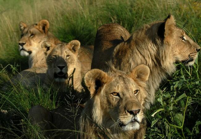 Gerettete Löwen