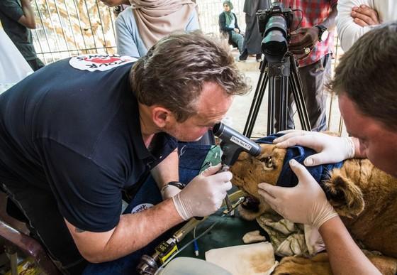 Löwin Kandaka wird von dem erfahrenen Tierarzt von VIER PFOTEN untersucht.