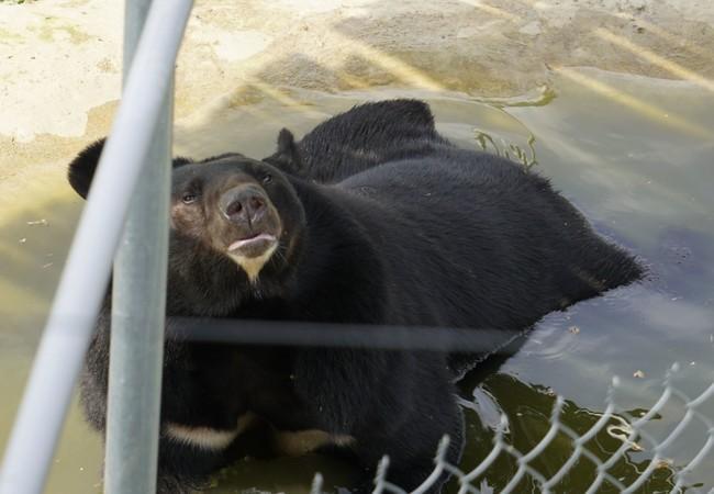 L'ours Ben qui se baigne dans le point d'eau avec bonheur