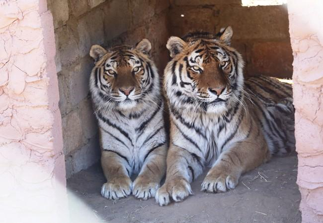 Tigers Juno & Cromwell in 2015