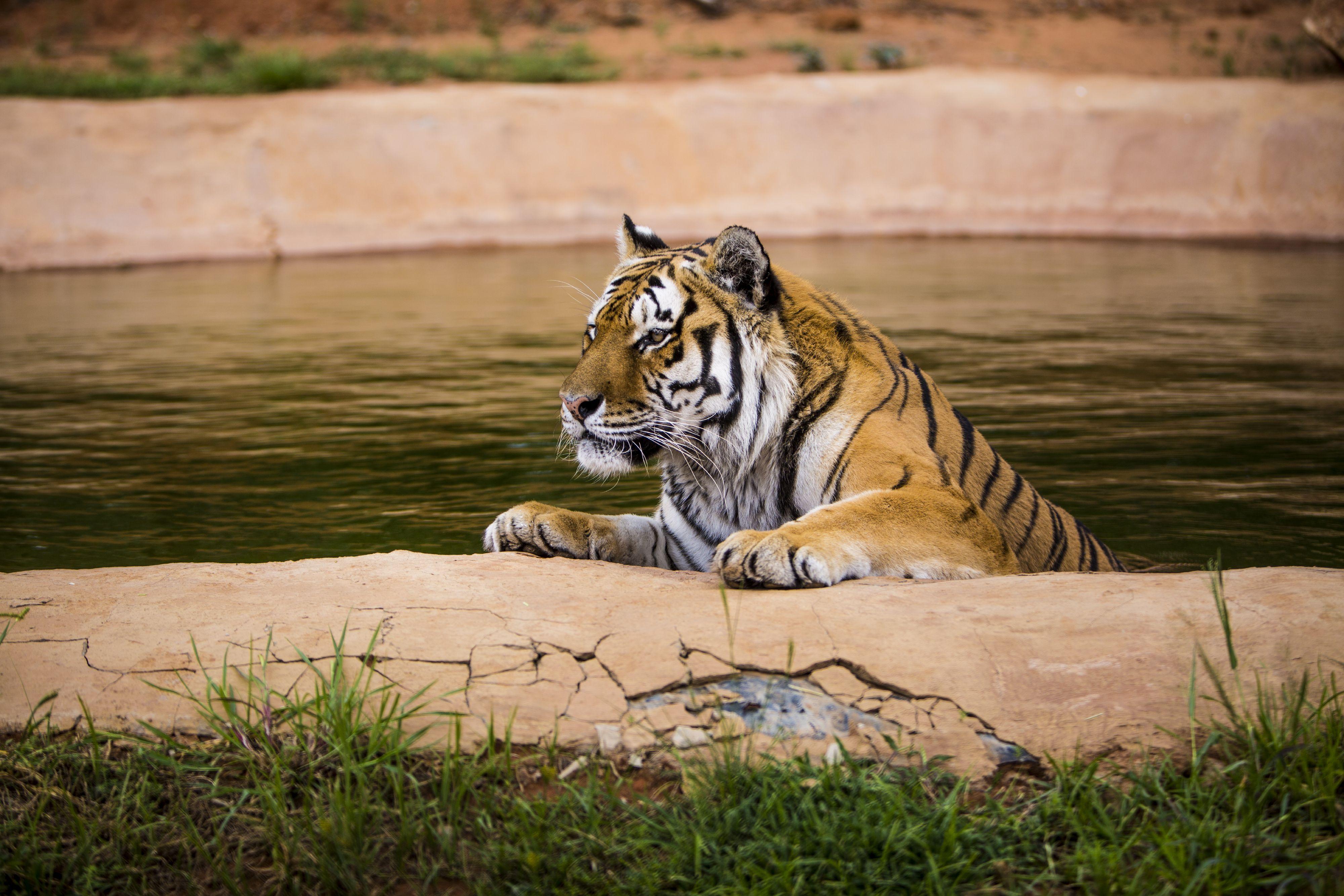 Tiger Raspoetin at LIONSROCK
