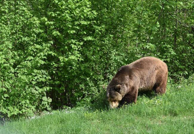 Brown bear Bruno in the grass