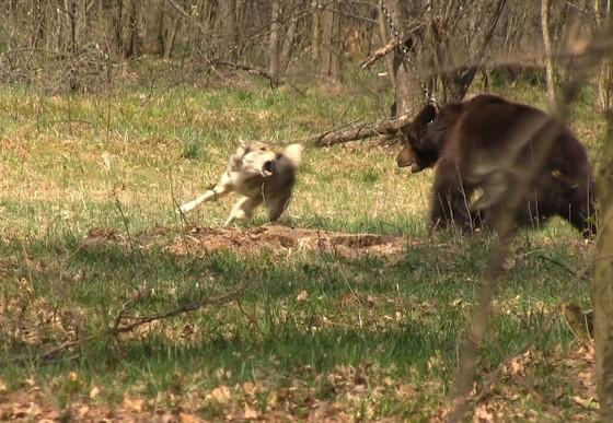 Bear-baiting in Ukriane