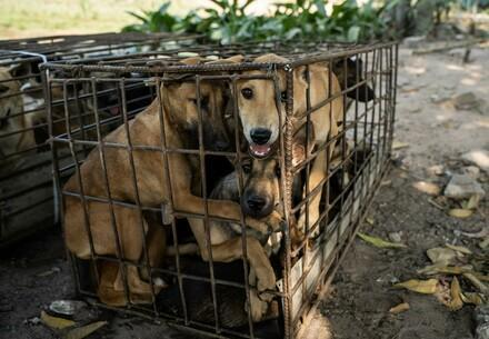 Des chiens détenus dans une cage